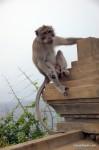 monkey (macaque) - Bali, Indonesia (Ulu Watu)