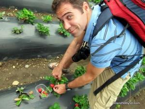 Picking fresh strawberries in Java, Indonesia