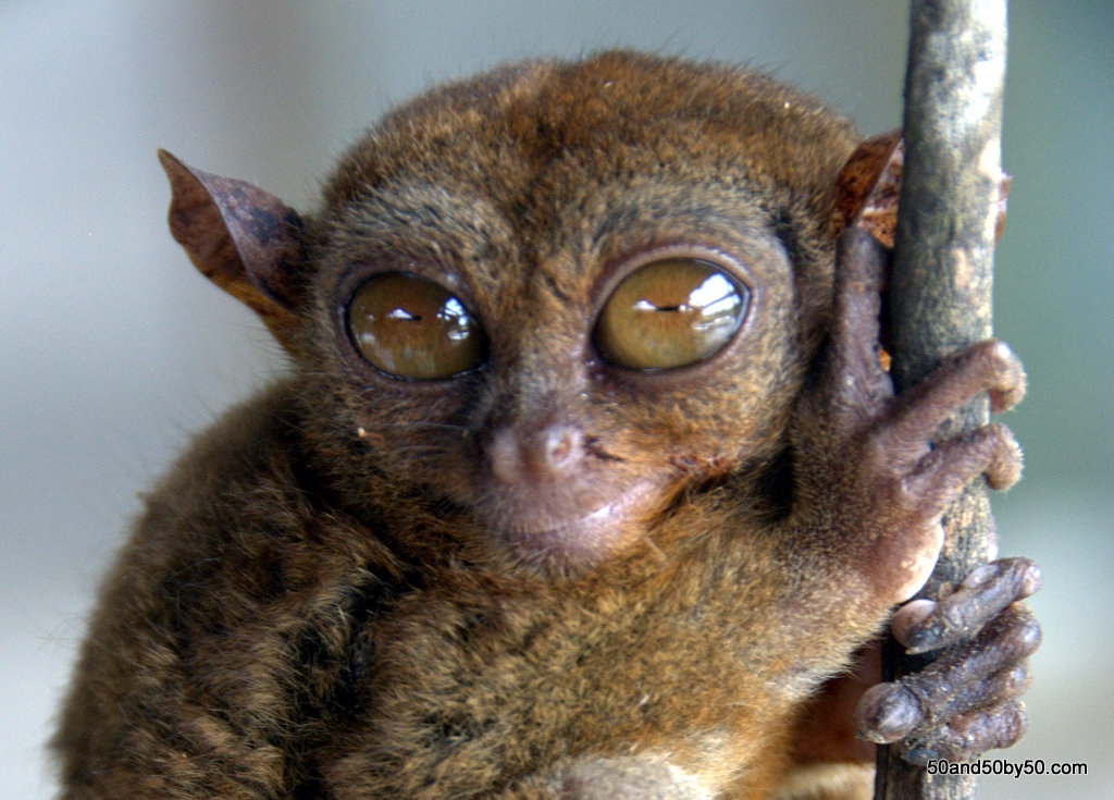 Tarsier in Bohol, Philippines | Photo by Todd L. Cohen | Visit50.com