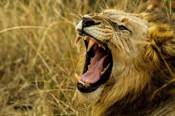 Lions in Africa - travel bucket list 2016